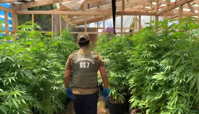 Carabineros encuentra más de 500 plantas de marihuana en plantación en sector Nonguén