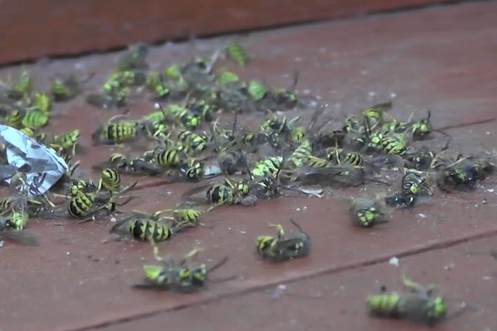 Invasión de avispas en casa de población Cañete Limitada preocupa a familia