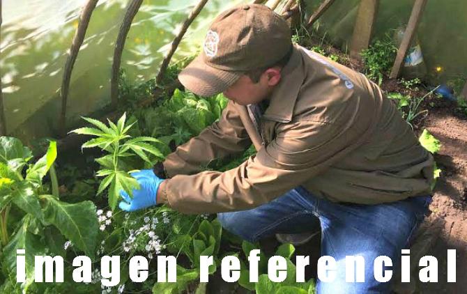 Mujer que mantenía plantas de marihuana en invernadero fue detenida en Cañete