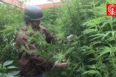 Campesino fue detenido por cultivar y vender marihuana en Lloncao comuna de Cañete