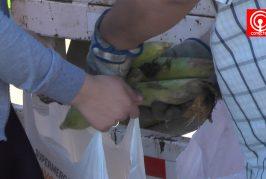 Diputado repartió más de 9.000 choclos en población Gajardo Sur de Cañete
