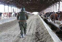 Tras cuantioso robo de vacunos en Paicaví se ha logrado recuperar un alto porcentaje de animales.